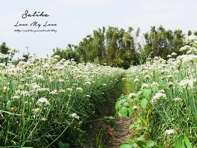 桃園一日遊旅遊景點中新里韭菜花 (15)