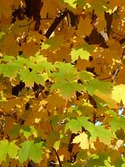 Trees, Tree Leaves 2016-2015
