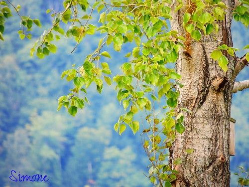 tree green nature beauty landscape details sunny vert lovely leafs arbre feuilles vie vivant bleulavande unseularbre 20150926vacancesdété