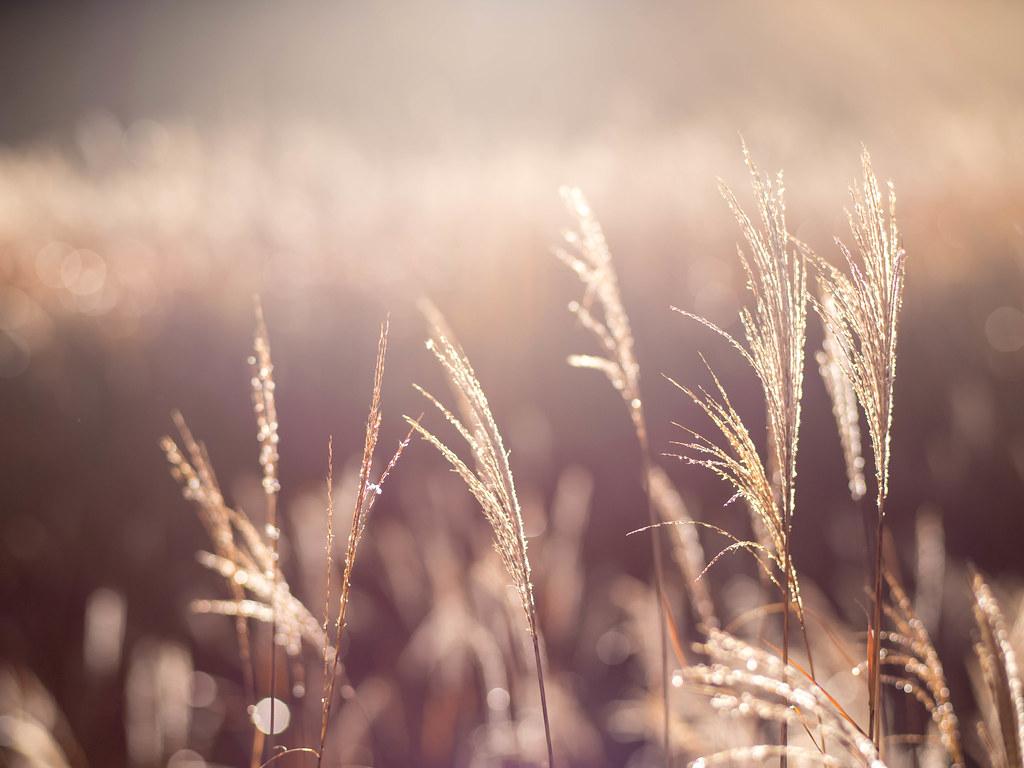 朝露で輝くすすき
