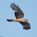 Small photo of African Marsh Harrier at Abrahamskraal