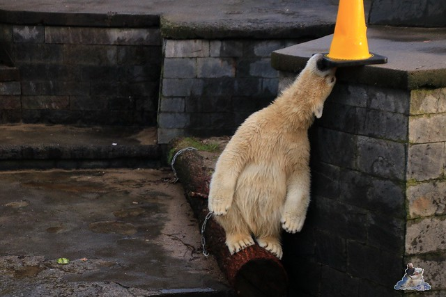 Eisbär Fiete im Zoo Rostock 13.12.2015  245