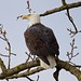 Bald Eagle (The Queen) by jerrygabby1