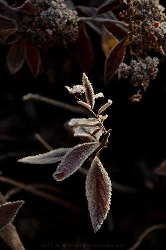Cold leaf
