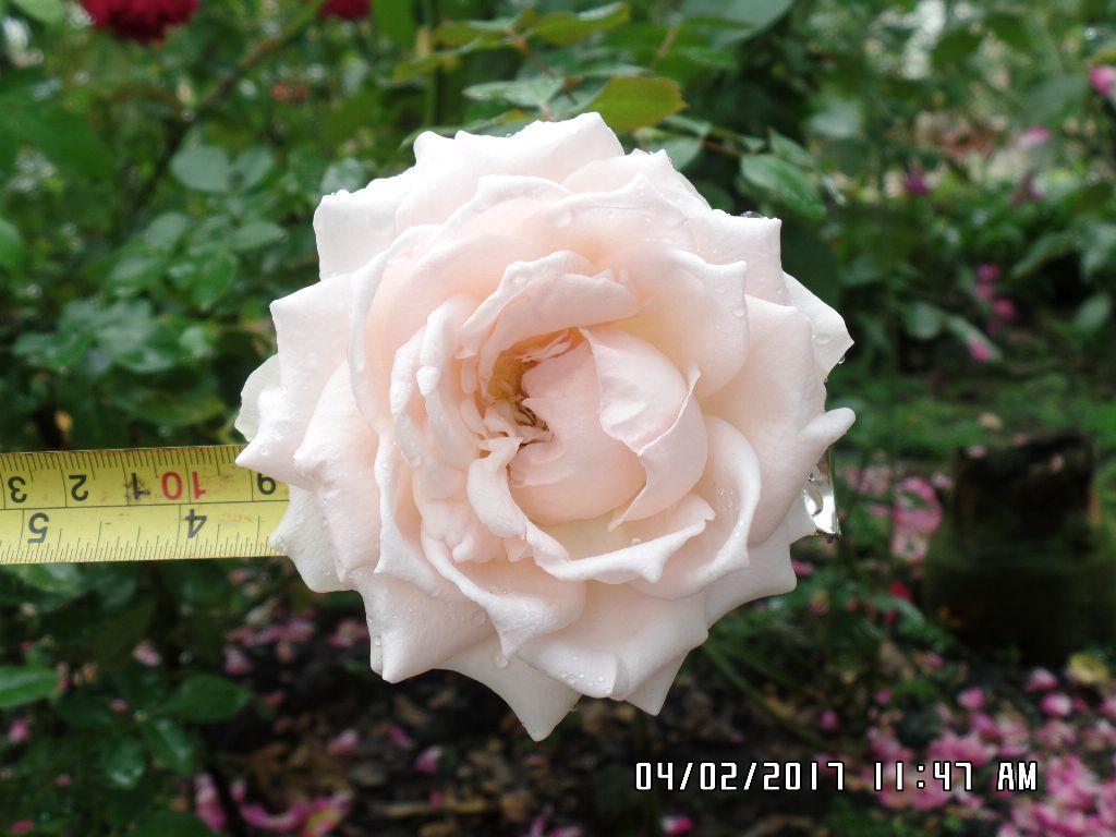 Hoa hồng Nude Sa Đéc có đường kính hoa trung bình 7-10cm