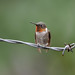 Ruby-throated Hummingbird-49026.jpg by Mully410 * Images