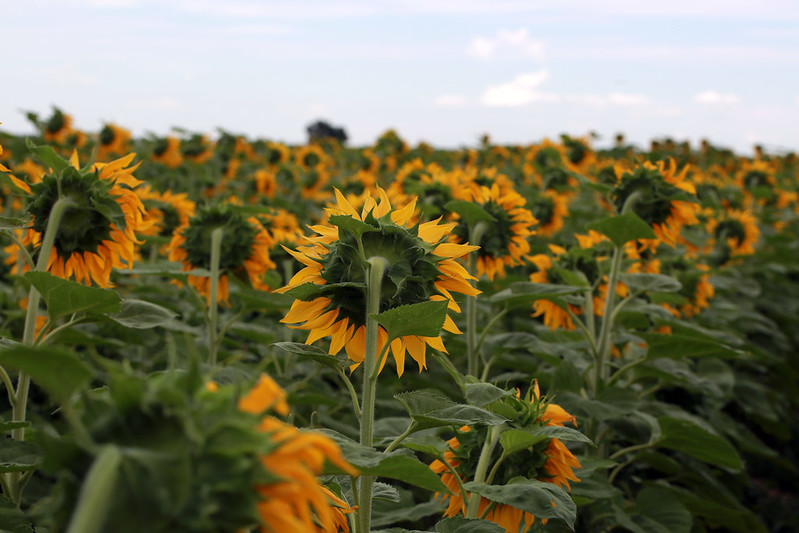 2015 8 16 - Sunflower Fields - 9S3A6531