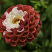 Dalia bicolor by loriagaon