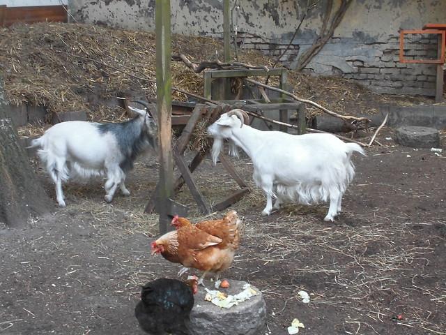 Ziegen und Hühner