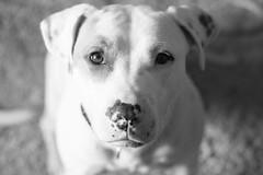 animal, dog, white, pet, mammal, monochrome photography, dalmatian, close-up, monochrome, black-and-white, black,