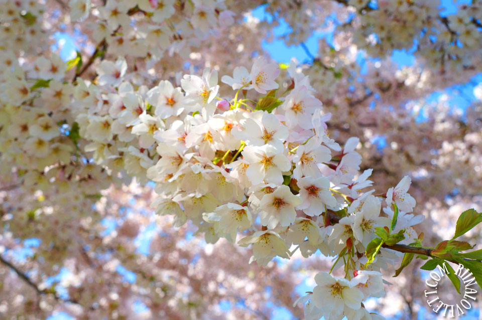 cherryblossoms3
