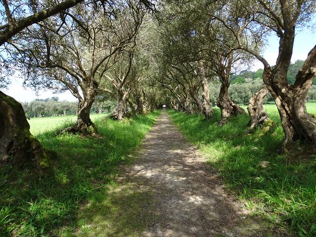Carrera de los Olivos en el Pazo de Santa Cruz de Rivadulla