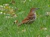 RiisThraThrasher seen at Riis Park, Chicagosher10-1-15_04