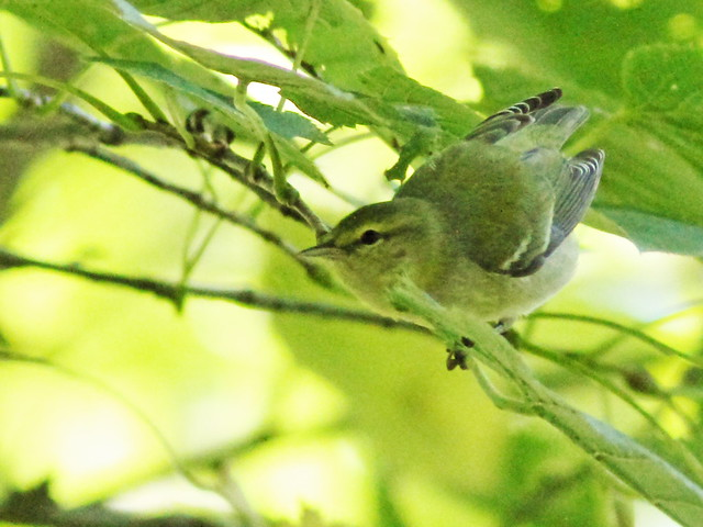Tennessee Warbler 7-20150916