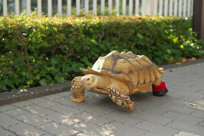 東京路地裏散歩 リクガメのリクくん 2015年9月23日