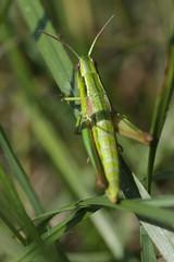 Small Gold Grasshopper - Euthystira brachyptera