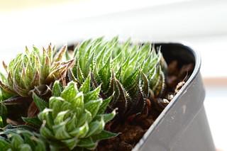 DSC_0676 Haworthia marumiana