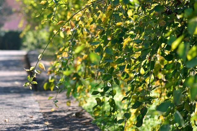 枝垂れ梅の秋 Japanese apricot tree