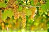 golden grapes by tonnyc