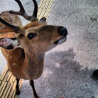 A deer on Miyajima Island