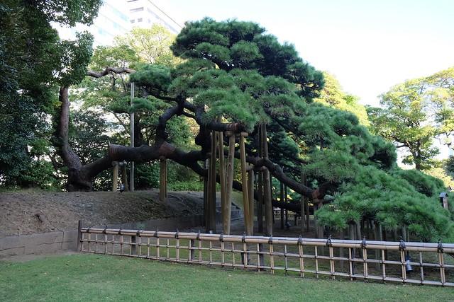 300 year pine at Hamarikyu Gardens