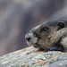Hoary Marmot by Turk Images