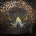 Golden Eagle by Jon David Nelson