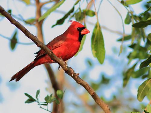 Northern Cardinal 2-20151209