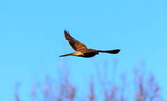 The Wings Of The Windhover