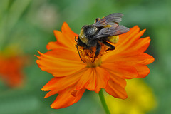 Dallas - 1 Flower, 1 Bee