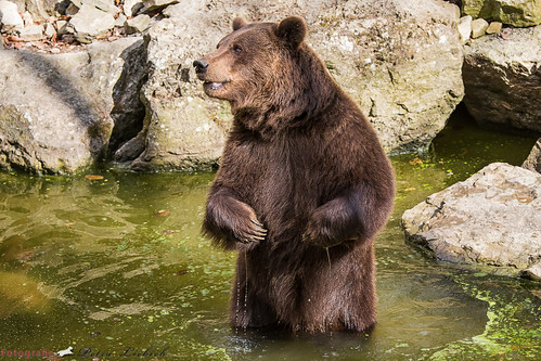 Der Bär nimmt ein Bad