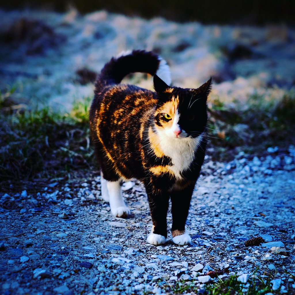 52/365. One of the cats, Krila, always followes us when the dog and I go for a walk.  #evilthecat on her #morningwalk, hit by a #sunbeam #fujifilmxt1 #fujinon35mm #_53mm_ #fujifilmnordic