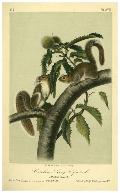 004- Ardilla gris de Carolina-The quadrupeds of North América-Vol1- 1849- J.J. Audubon-Universite de Strasbourg