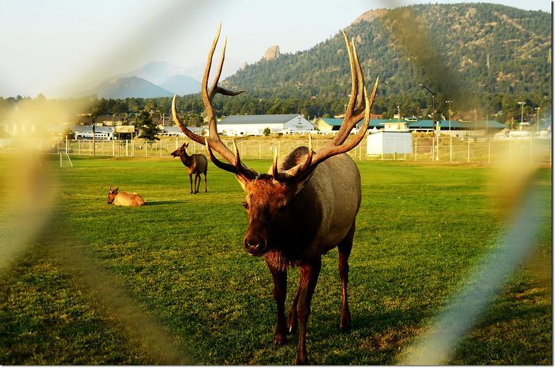 Elk, Lake Estes 1