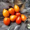 mat tomat hasil kebun #hydroponic #tomatoes