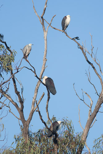 Herons in a tree