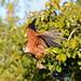Black Collared Hawk (Stephen Woodham)