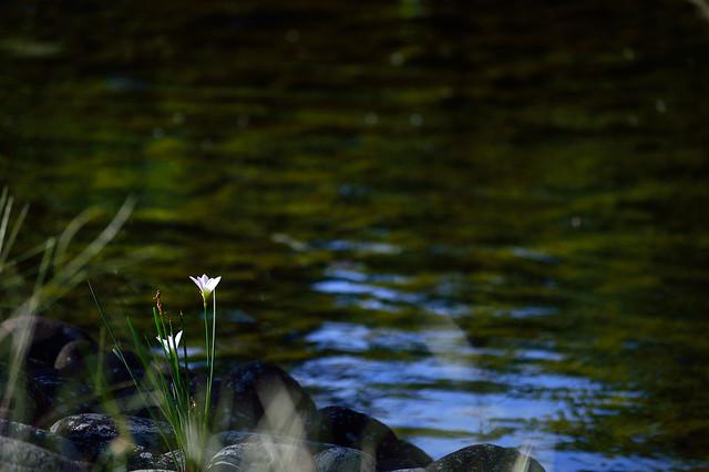 玉すだれ Rain lily