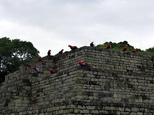 Incontro tra pappagalli sulle rovine di Copan