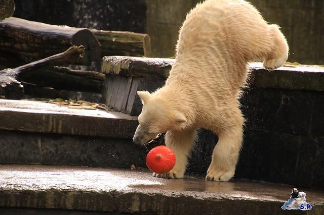 Eisbär Fiete im Zoo Rostock 26.09.2015   0102