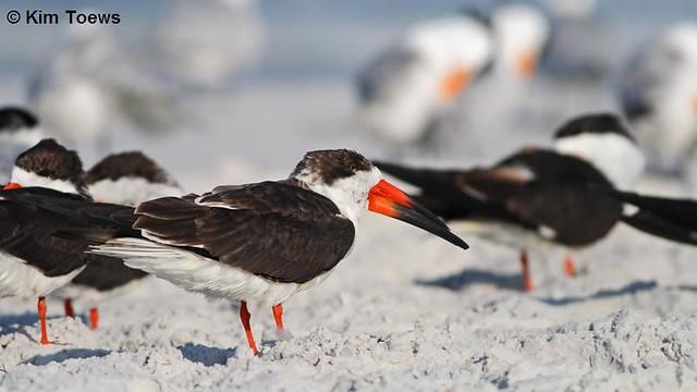 Black Skimmers (Rynchops niger) - Tierra Verde, FL