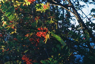 Rowan (Sorbus aucuparia)