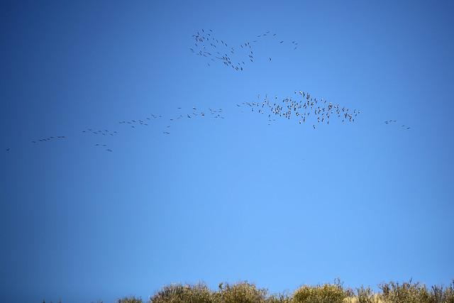 2015 10 17 - Sandhill Crane Migration - Soapstone Prairie - 9S3A8461