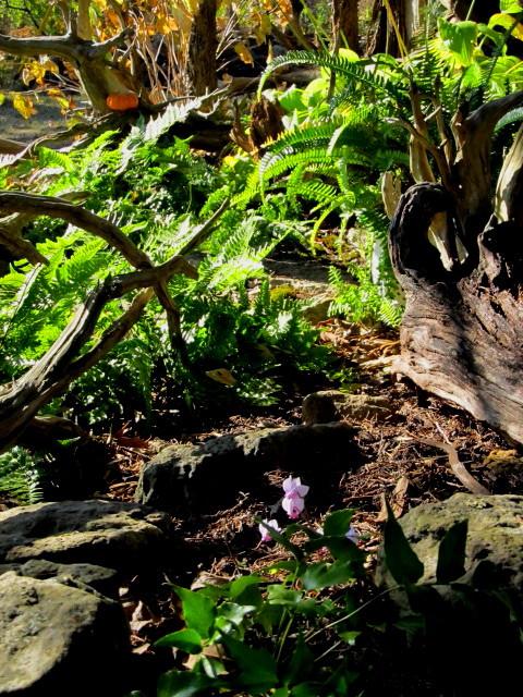 Cyclamen among the ferns
