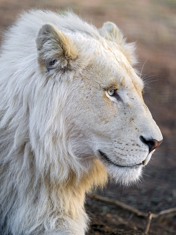 Profile of a cute white lion