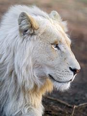Profile of a cute white lion