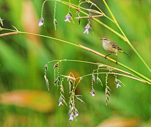Palm Warbler and Alligator Flag flowers 2-20151121