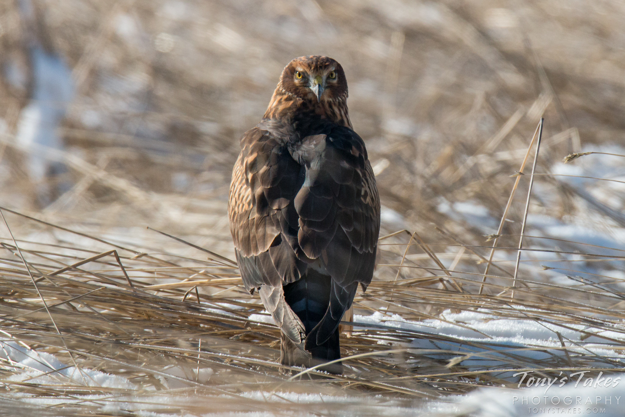 A female Northern Harrier keeps close watch while resting in some grass. (© Tony's Takes)