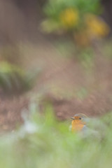Robin dream - Photo of Pioussay