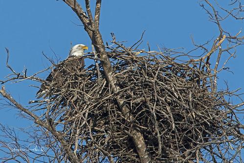baldeagle águilacabezablanca haliaeetusleucocephalus bird ave raptor birdofprey averapaz avedepresa nature naturaleza fauna wildlife